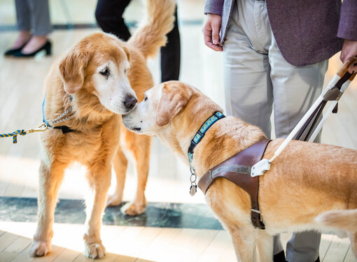 Two guide dogs greet each other by touching noses